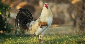 roosters-vitamins
